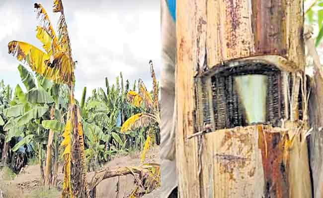 Panama Rot(TR4) G9 Is Effect On Banana Farming In Sagubadi - Sakshi
