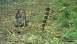 Viral Video: Monkey And King Cobra Caught Intense Battle - Sakshi