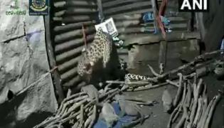Leopardess Gives Birth Inside Hut In Nashik Video Gone Viral