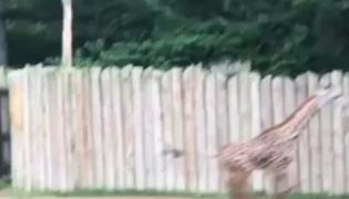 Baby Giraffe Runs Around Video Gone Viral