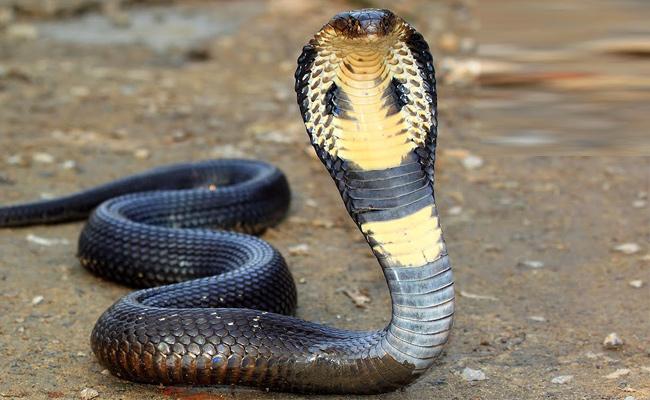 Snake Threats In Rainy Season - Sakshi