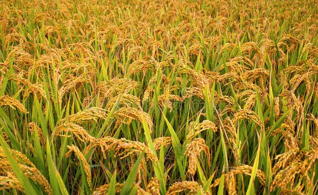 Agriculture Rice Production Increased In Market 2019 - Sakshi