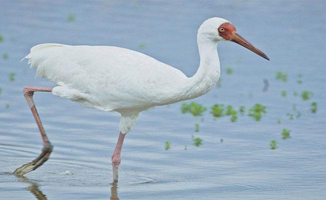 Disappearing Siberian birds In Godavari Districts - Sakshi