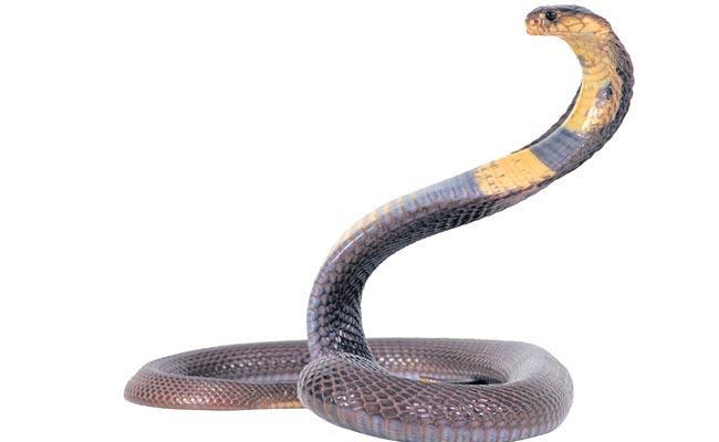 No Medicine For Several Snake Bites - Sakshi
