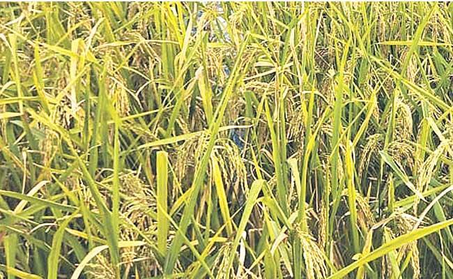 Black Grain Cultivation Success - Sakshi