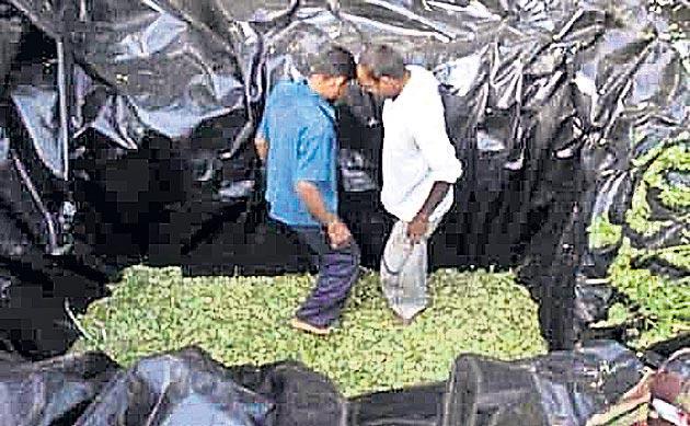 grass for silage making  - Sakshi