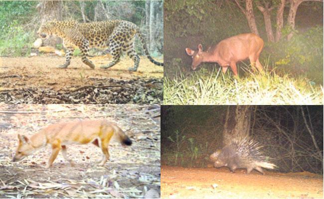 Leopard Deer Fox Animals Caught On CC Camera In Forest - Sakshi
