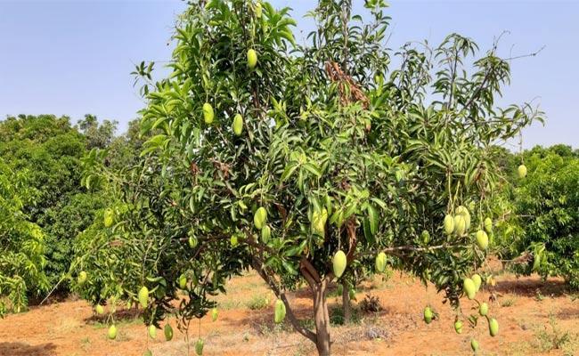 Mango Farmers Facing Problems During Lockdown - Sakshi