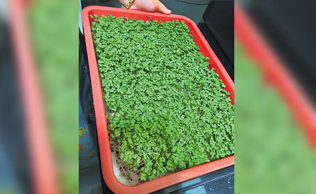 Healthy Micro Green Crops Special Story - Sakshi