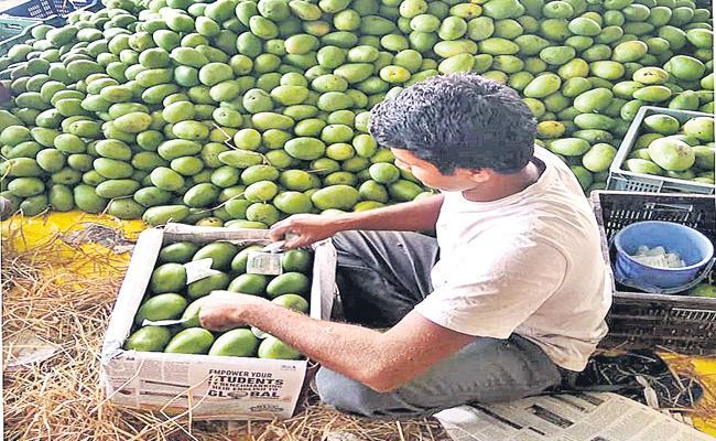China Chemical Mixing in Mango Fruits Hyderabad Market - Sakshi