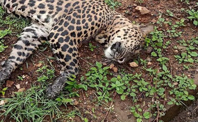 Deceased Leopard Found on Train Track Odisha - Sakshi