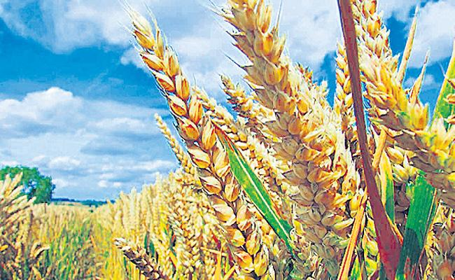 Govt hikes minimum support price for wheat and five other rabi crops - Sakshi