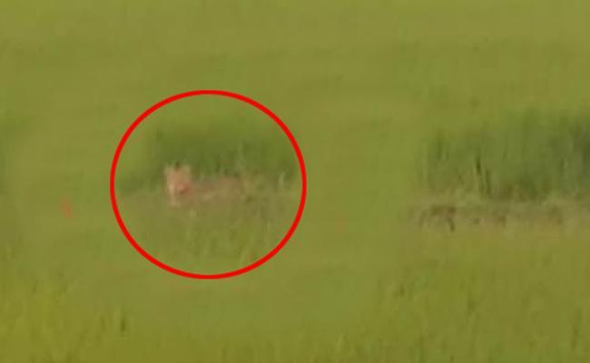 Tiger Wandering In Warangal District - Sakshi