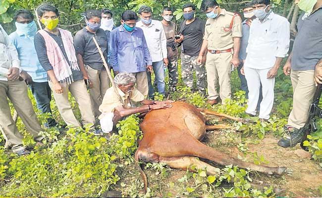 Tigers Killed Three Cows At Peddapalli Telangana - Sakshi